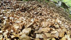 El beagle divertido que engaña alrededor cubierto en el bosque caido se va almacen de video