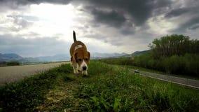 El beagle en el paseo diario usual con el suyo nariz señaló a la tierra metrajes