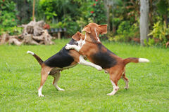 El beagle feliz persigue jugar en césped con los amigos Fotografía de archivo