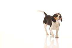 El beagle mira para arriba Imagenes de archivo