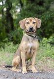 El beagle negro del perro del Cur de la boca mezcló el perro de la raza Foto de archivo