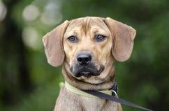 El beagle negro del perro del Cur de la boca mezcló el perro de la raza Imagenes de archivo