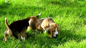 El beagle persigue el funcionamiento a través del día de verano de la hierba almacen de video
