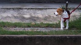 El beagle que el perro fue encadenado ató porque muy es travieso Imágenes de archivo libres de regalías