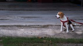 El beagle que el perro fue encadenado ató porque muy es travieso Imagen de archivo