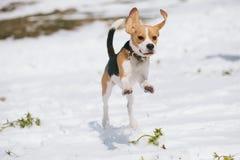 El beagle que salta en nieve Imagen de archivo