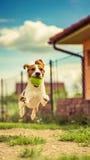 El beagle salta Fotos de archivo libres de regalías