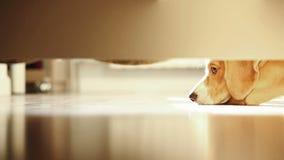 El beagle solo miente debajo de la cama en un día soleado metrajes