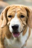 El beagle viejo Asia de los perros Imágenes de archivo libres de regalías