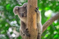 El bebé de la koala se está sentando en árbol imagen de archivo libre de regalías