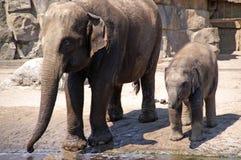 el bebé del elefante aprende beber 1 Fotografía de archivo libre de regalías