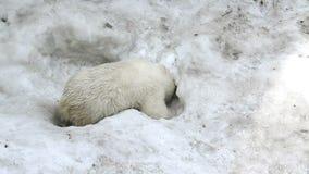 El bebé del oso polar cava un agujero en la nieve almacen de video