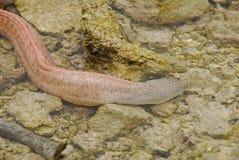 El bebé pequeño pero regordete Moray Eel nada lejos en agua poco profunda Foto de archivo libre de regalías