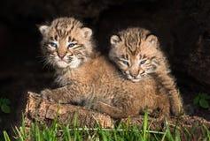 El bebé Bobcat Kittens (rufus del lince) oculta hacia fuera en registro hueco Fotografía de archivo libre de regalías