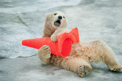 El bebé del oso polar juega con el cono plástico en parque zoológico Fotografía de archivo libre de regalías