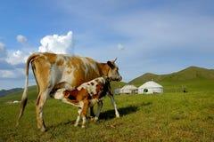 El becerro bebe la leche de su madre Fotos de archivo