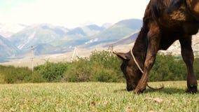 El becerro de Brown que come la hierba verde el verano coloca en el paisaje de la montaña almacen de video