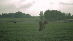 El becerro de la vaca se coloca en el prado antes de la lluvia almacen de video