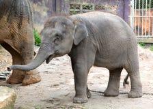 El becerro del elefante imagenes de archivo