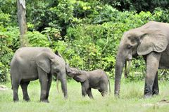 El becerro del elefante con la vaca del elefante Forest Elephant africano, cyclotis del africana del Loxodonta En el Dzanga salin Imagenes de archivo