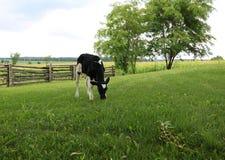 El becerro joven de Holstein se coloca en la yarda que come la hierba fotos de archivo