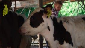 El becerro lame otra pequeña vaca metrajes