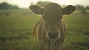 El becerro mira la cámara Granja de la vaca por la mañana almacen de metraje de vídeo