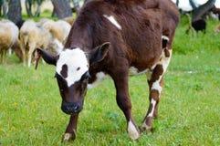 El becerro o el toro joven mira la cámara imagenes de archivo