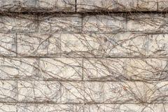 El beige coloreó la pared de piedra con el lleno de hiedra secada Imagen de archivo