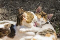 El besarse de dos gatos Fotografía de archivo