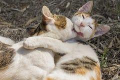 El besarse de dos gatos Fotos de archivo