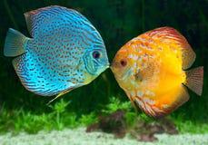 El besarse de dos pescados imagenes de archivo