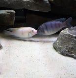 El besarse de dos pescados del acuario fotos de archivo