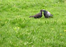 El besarse de las palomas Fotos de archivo