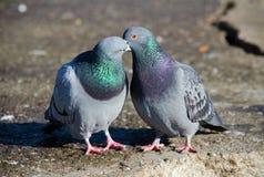 El besarse de las palomas Fotografía de archivo