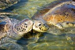 El besarse de las tortugas Fotografía de archivo