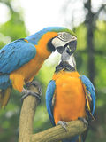 El besarse de los Macaws de los pares Imagen de archivo