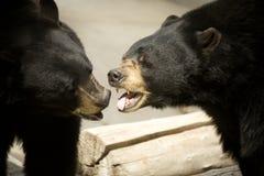 El besarse de los osos negros imagen de archivo libre de regalías