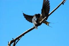El besarse de los pájaros Fotografía de archivo libre de regalías