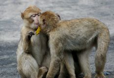 El besarse del babuino de dos bebés Fotos de archivo
