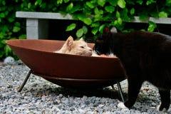 El besarse lindo de dos gatos Imagenes de archivo