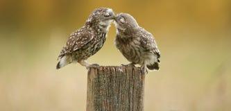 El besarse salvaje de los pequeños búhos Imagen de archivo