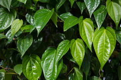 El betel, hoja del betel, betel se va, hierba tailandesa Fotos de archivo