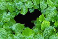 El betel verde grande hojea como marco en fondo negro con el espacio de la copia disponible en el centro imagen de archivo libre de regalías