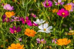 El bipinnatus blanco del cosmos colorea fresco hermoso en el cosmos del campo como fondo Imágenes de archivo libres de regalías