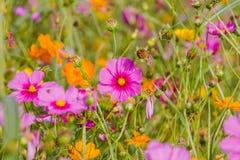 El bipinnatus del cosmos colorea fresco hermoso en el cosmos del campo como fondo Fotografía de archivo