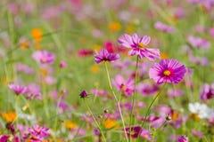 El bipinnatus del cosmos de los campos hermoso, consigue un fondo del invierno Imágenes de archivo libres de regalías
