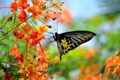 El Birdwing de oro Foto de archivo libre de regalías