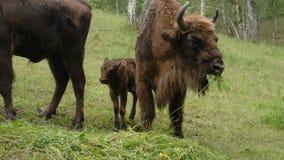 El bisonte es de pasto y de consumición de la hierba almacen de metraje de vídeo