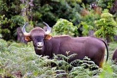 El bisonte es @ relaja tiempo en un bosque verde fotos de archivo